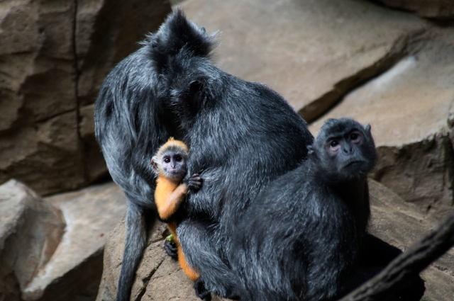 _Julie Larsen Maher 3610 Silver Lear Langur and Baby JUN BZ 05 03 13