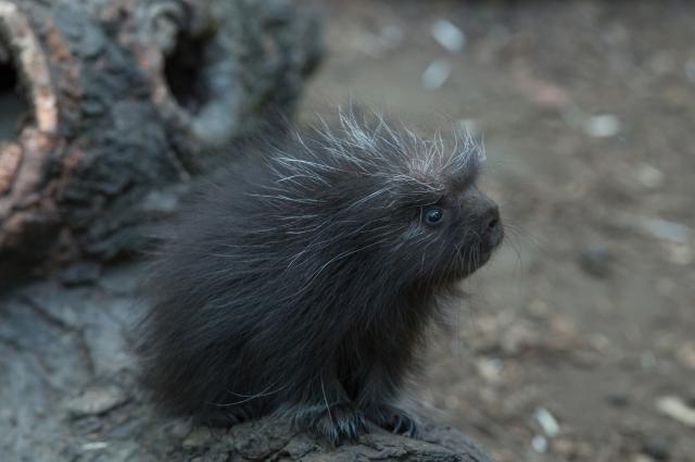 Julie Larsen Maher_1646_North American Porcupine Porcupette_CZ _BZ_08 07 15