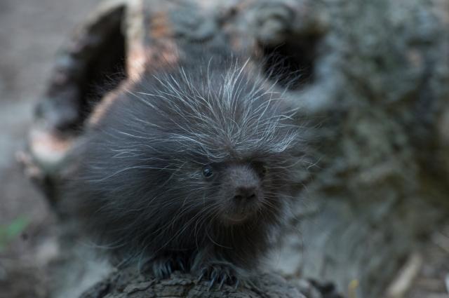 Julie Larsen Maher_1650_North American Porcupine Porcupette_CZ _BZ_08 07 15