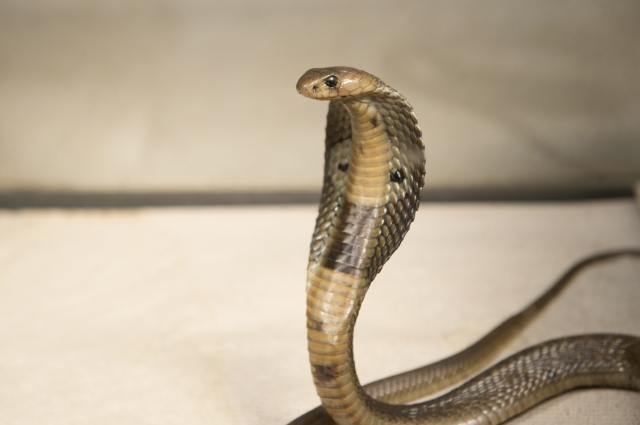Julie Larsen Maher_5262_Indian Cobra_BZ_12 18 15