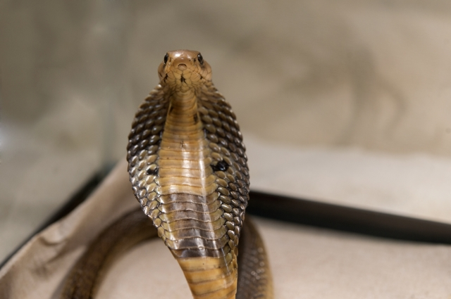 Julie Larsen Maher_5332_Indian Cobra_BZ_12 18 15.jpg