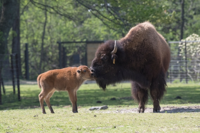_Julie Larsen Maher_2192_American Bison and Calves_BZ_05 01 17