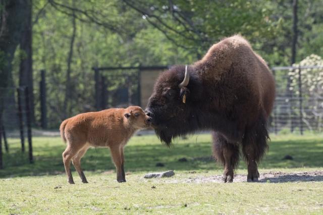 _Julie Larsen Maher_2192_American Bison and Calves_BZ_05 01 17
